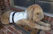 J'Adore Paris Dog Harness
