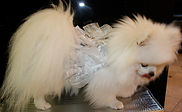 RL Couture Dog Harness dress by Lucy Medeiros