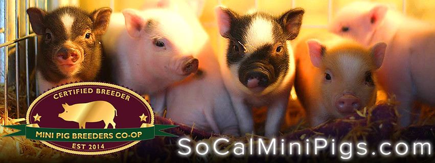 Mini pigs for sale and farm tours | Southern California