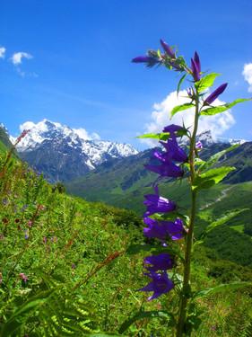 Large Bell Flower- Campanula.jpg