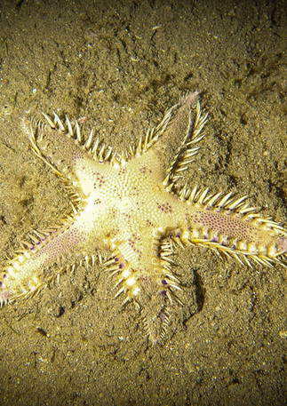 Comb Starfish