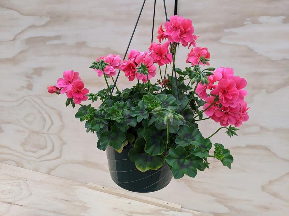 Pink Ivy Geranium