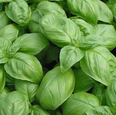 Large Leaf Italian Basil