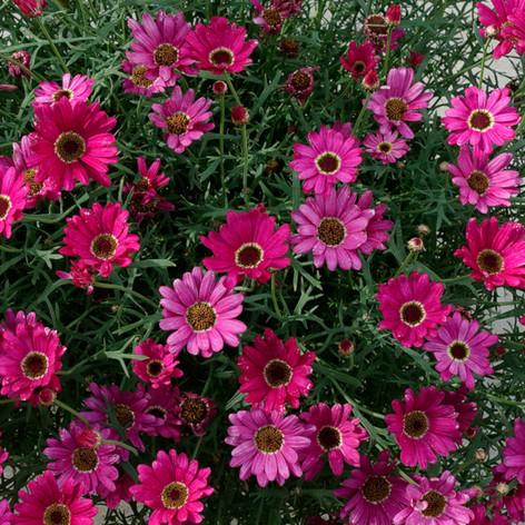Argyranthemum Grandessa Dark Pink