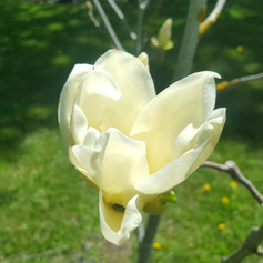 Magnolia blooming