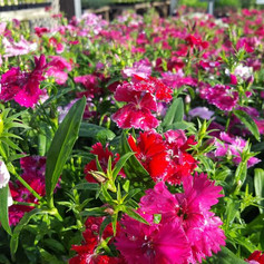 Dianthus Ideal Select Mix