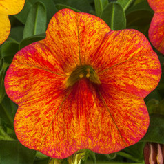 Calibrachoa Callie Sunset Glow