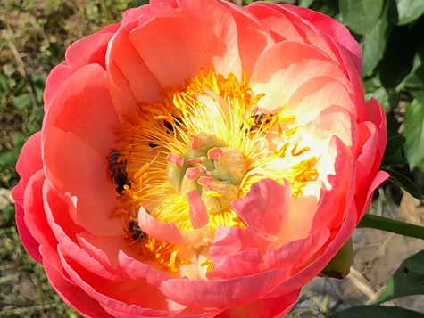 Peony 'Coral and Gold'