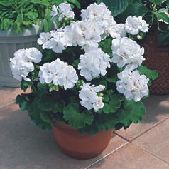 Geranium Americana White