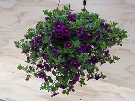 Purple Callie
