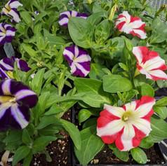 Petunia Amore Purple & Queen of Hearts
