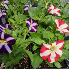 Petunia Amore Purple & Queen of Hearts
