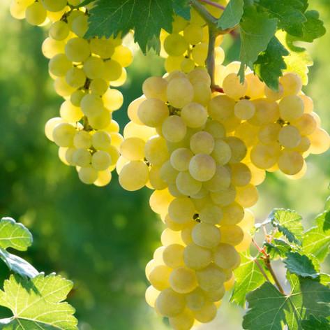 Edelweiss Grape
