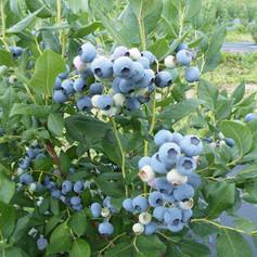 Elizabeth Blueberry