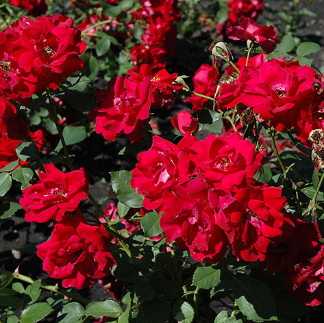 Champlain Rose