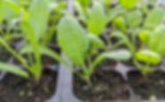 Seedlings2_edited.jpg