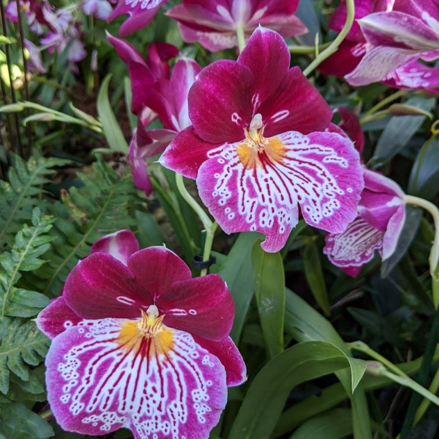 Indonesian Orchids