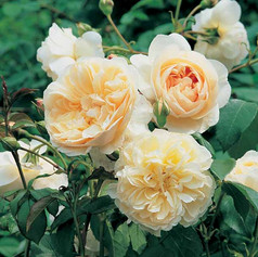 Litchfield Angel Rose
