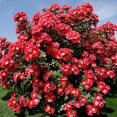 Carefree Spirit Rose