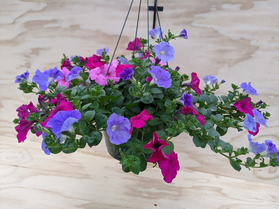 "12"" Mixed Supertunia1"