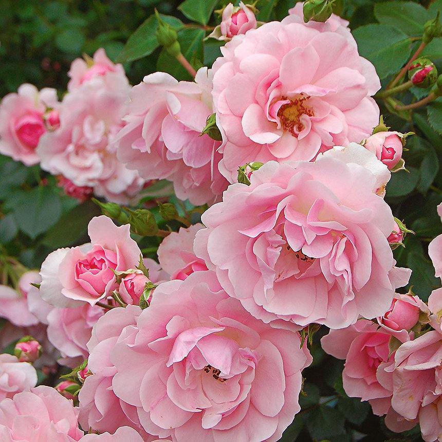 Bonica Rose.jpg