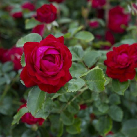 Canadian Shield Rose