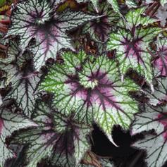 Begonia Rex Dibs Cherry Mint
