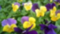 Viola Yellow Jump-up.jpg