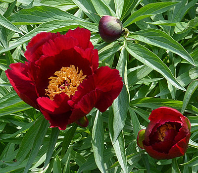 Peony 'Early Scout'