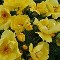 Lemon Fizz Rose