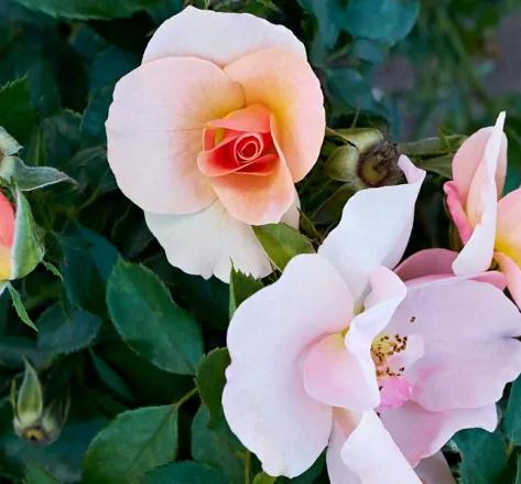 Chinook Sunrise Rose