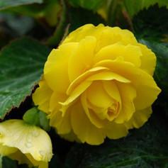 Begonia Non-Stop Yellow.jpg
