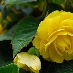 Begonia Non-Stop Yellow