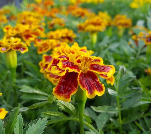 Marigold Bonanza Bee