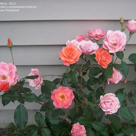 Carefree Celebration Rose