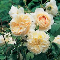 Litchfield Angel Rose