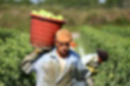 A farm laborer carrying a bucket full of vegetables on his shoulder.