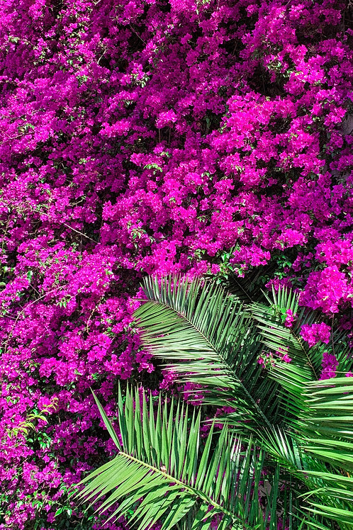 Purple Queen Bougainvillea
