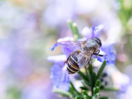 ニホンミツバチはローズマリーの蜜が好きみたい