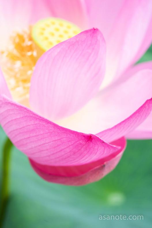 Ancient lotus