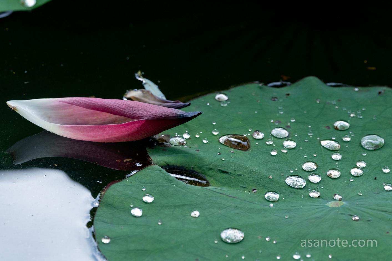 s-1731.jpgAncient lotus