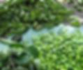 Griffonia simplicifolia.webp