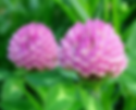 red clover.webp