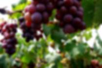 grape seed 1.jpg