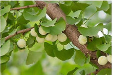 ginkgo biloba leaf.jpg