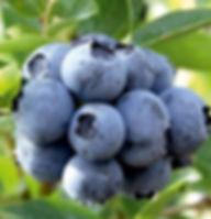 blueberry Vaccinium uliginosum L..jpg