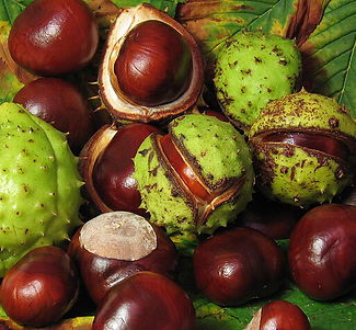 Horse Chestnut Extract Horse Chestnut Seed Extract Aesculus Hippocastanum seed extract  raw seed