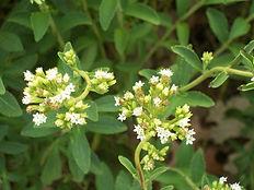 stevia extract farm