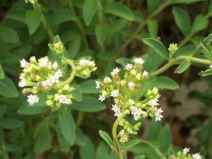 steviol glycosides stevia leaf