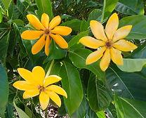 gardenia yellow color.jpg
